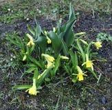 Narcisos amarelos amarelos bonitos no jardim Fotografia de Stock