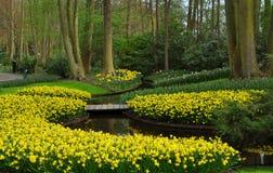 Narcisos amarelos amarelos em jardins de Keukenhof Imagem de Stock Royalty Free