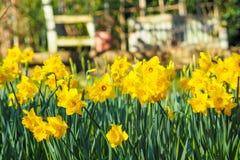Narcisos amarelos amarelos no jardim Fotografia de Stock