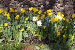 Narcisos amarelos, as primeiras flores da mola Fotografia de Stock