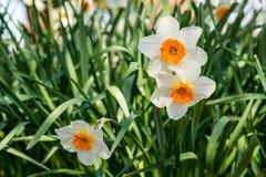 Narcisos amarelos bonitos da primavera na luz solar parcial Foto de Stock Royalty Free