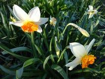 Narcisos amarelos bonitos que florescem no canteiro de flores Fotos de Stock Royalty Free