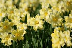 Narcisos amarelos brancos em uma cama de flor em um parque fotos de stock