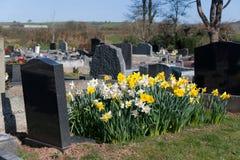 Narcisos amarelos com sepultura e lápide imagens de stock royalty free