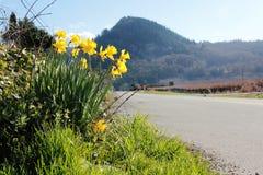 Narcisos amarelos da borda da estrada Foto de Stock Royalty Free