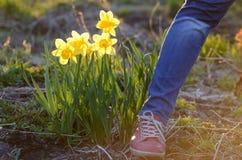 Narcisos amarelos da mola Imagens de Stock Royalty Free