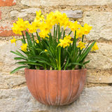 Narcisos amarelos da mola Imagem de Stock Royalty Free