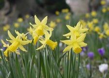 Narcisos amarelos da mola Foto de Stock
