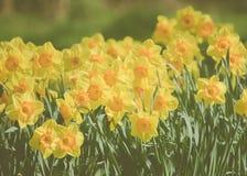 Narcisos amarelos amarelos da mola em Escócia imagens de stock royalty free
