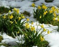 Narcisos amarelos da mola na neve Fotografia de Stock