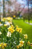 Narcisos amarelos da mola no jardim de Keukenhof em Países Baixos Foto de Stock