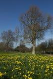 Narcisos amarelos da mola no parque de Greenwich, Londres Fotografia de Stock Royalty Free