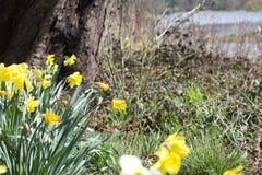 Narcisos amarelos da mola no sol abaixo de uma árvore imagens de stock