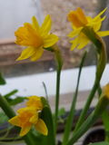 Narcisos amarelos da soleira imagem de stock royalty free