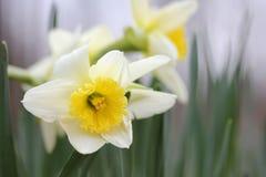 Narcisos amarelos de florescência Foto de Stock