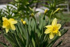 Narcisos amarelos de florescência da primavera Fotos de Stock