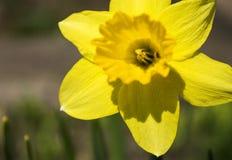 Narcisos amarelos de florescência da primavera Imagens de Stock