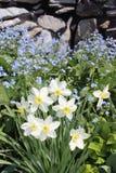 Narcisos amarelos de florescência no jardim Fotos de Stock Royalty Free