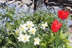 Narcisos amarelos de florescência no jardim Imagem de Stock Royalty Free