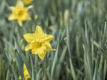 Narcisos amarelos amarelos de um easter foto de stock