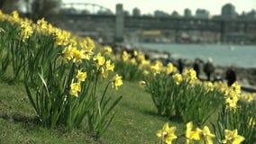 Narcisos amarelos de Vancôver, Columbia Britânica 4K UHD filme