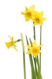 Narcisos amarelos diminutos Imagem de Stock