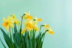 Narcisos amarelos do amarelo do ` s da Páscoa da mola no fundo verde com cópia s Imagem de Stock