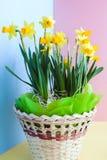 Narcisos amarelos amarelos do ` s da Páscoa em uma cesta festiva decorada no bl Imagens de Stock Royalty Free