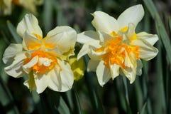 Narcisos amarelos dobro imagens de stock