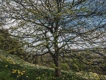 Narcisos amarelos amarelos e árvore que folheiam para fora, mola adiantada imagem de stock