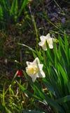 Narcisos amarelos amarelos e brancos no parque da cidade fotos de stock royalty free