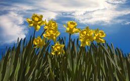 Narcisos amarelos e nuvens Fotografia de Stock Royalty Free