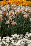 Narcisos amarelos e tulipas no jardim. Foto de Stock