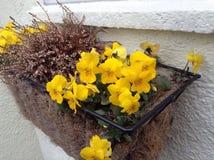 Narcisos amarelos e urze Imagem de Stock Royalty Free