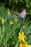 Narcisos amarelos em Jesmond Dene, Newcastle em cima de Tyne Foto de Stock
