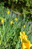 Narcisos amarelos em Jesmond Dene, Newcastle em cima de Tyne Fotografia de Stock