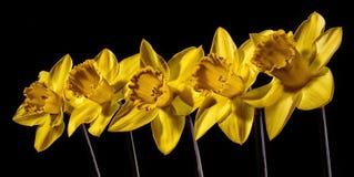 Narcisos amarelos em seguido Foto de Stock Royalty Free