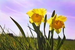 Narcisos amarelos em um campo Imagens de Stock Royalty Free