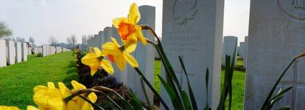 Narcisos amarelos em um cemitério militar da primeira guerra mundial Imagens de Stock