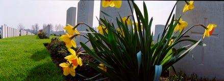 Narcisos amarelos em um cemitério militar da primeira guerra mundial Fotografia de Stock