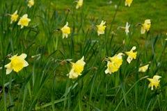 Narcisos amarelos em um dia de mola bonito imagens de stock royalty free
