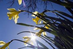 Narcisos amarelos em um fundo do céu azul Fotografia de Stock Royalty Free