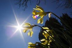 Narcisos amarelos em um fundo do céu azul Imagens de Stock Royalty Free