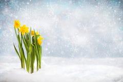 Narcisos amarelos em uma cena do inverno que quebra através da neve Imagens de Stock Royalty Free