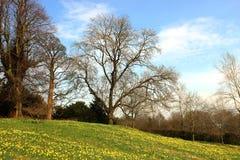 Narcisos amarelos em uma inclinação verde, árvores desencapadas na mola Fotos de Stock Royalty Free