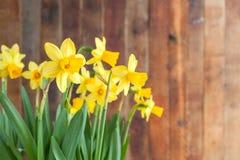Narcisos amarelos ensolarados do amarelo do ` s da Páscoa da mola no backgro de madeira rústico Imagens de Stock Royalty Free