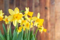 Narcisos amarelos ensolarados do amarelo do ` s da Páscoa da mola no backgro de madeira rústico Fotos de Stock