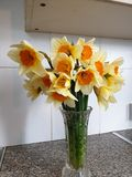 Narcisos amarelos na flor completa fotos de stock