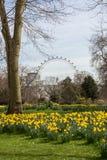 Narcisos amarelos na flor imagem de stock royalty free