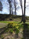 Narcisos amarelos na floresta Foto de Stock Royalty Free
